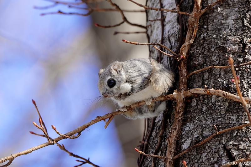 絶景探しの旅 - 絶景写真No.1313 木の枝に乗るエゾモモンガ (北海道 網走市 駒場)