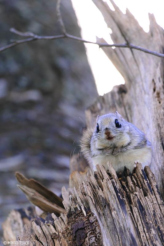 絶景探しの旅 - 絶景写真No.1314 こんにちは!森のエゾモモンガです。 (北海道 網走市 駒場)