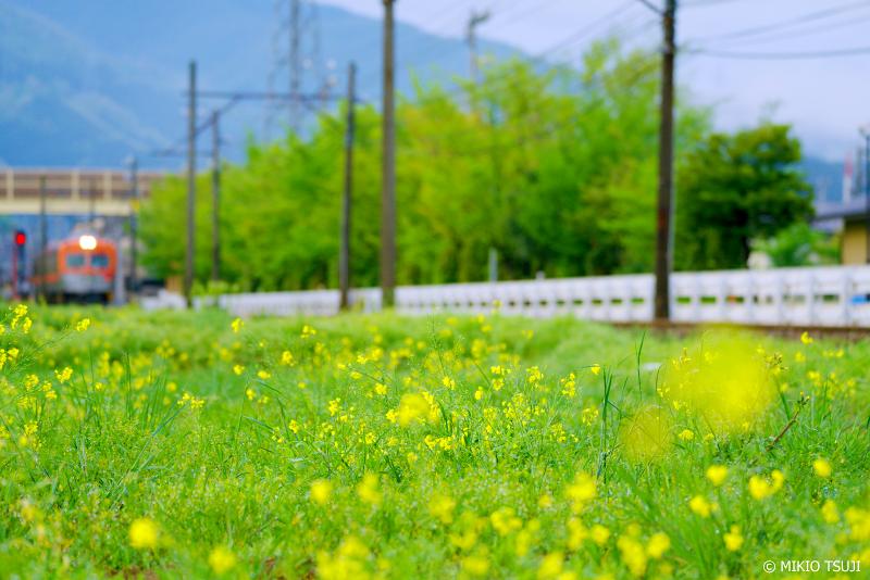絶景探しの旅 - 絶景写真No.1336 菜の花と電車の風景 (北陸鉄道石川線/石川県 白山市)