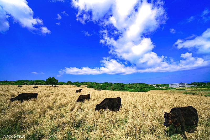 絶景探しの旅 - 絶景写真No.1340 南の島の放牧の風景 (小浜島/沖縄県 八重山郡 竹富町)