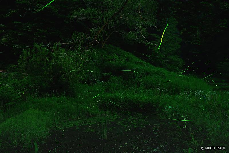 絶景探しの旅 - 絶景写真No.1363 森の沼を舞うホタル (東京都 あきる野市 横沢入里山保全地域)