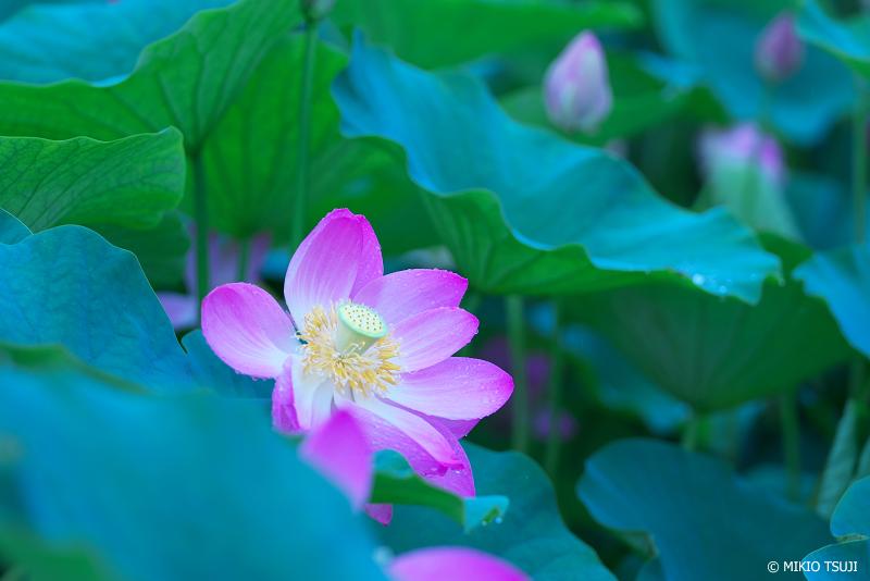 絶景探しの旅 - 絶景写真No.1369 青い蓮池 (古代蓮の里 群馬県 富岡市)