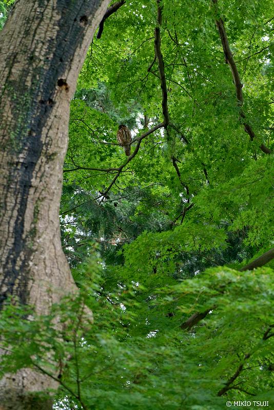 絶景探しの旅 - 絶景Photo No.1376 アオバズクのいる風景 (東京都 八王子市)