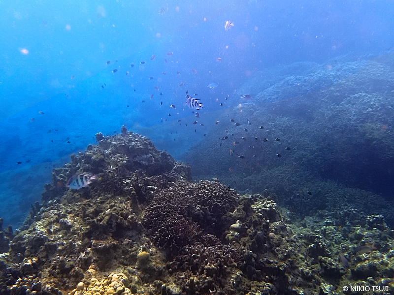 絶景探しの旅 - 絶景写真 No. 1388 サンゴの海の熱帯魚を追う (沖縄県 石垣島)