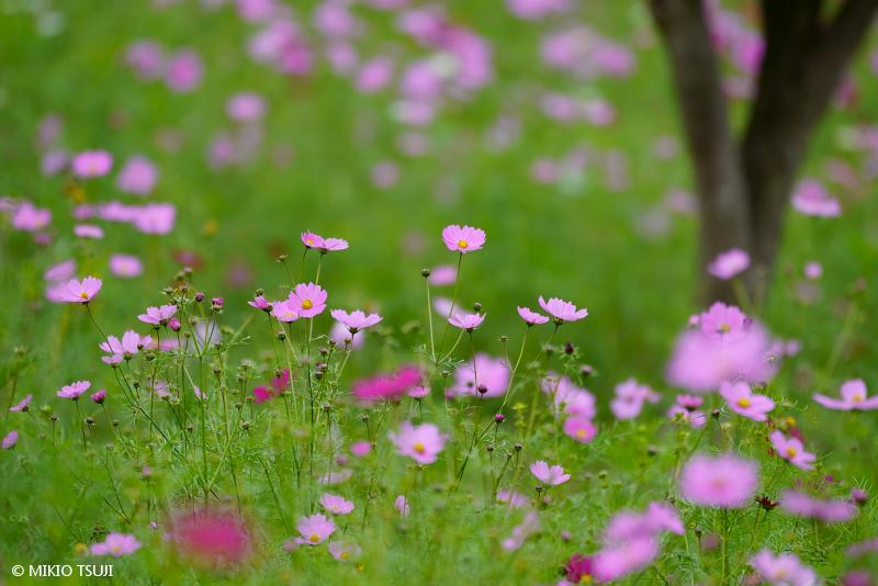 絶景探しの旅 - 絶景写真 No.1475 コスモスの丘から (昭和記念公園/東京都 立川市)