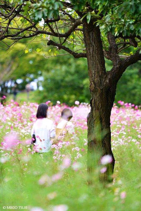 絶景探しの旅 - 絶景写真 No.1477 秋桜に誘われて(昭和記念公園/東京都 立川市)