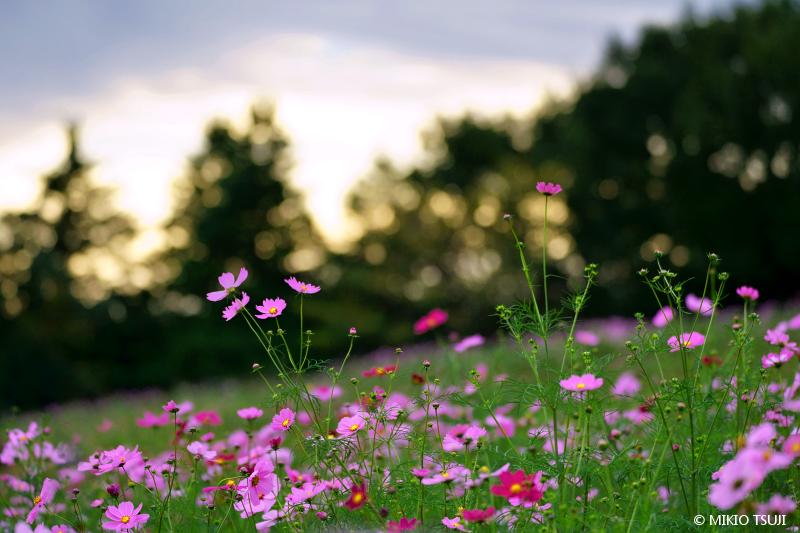 絶景探しの旅 - 絶景写真 No.1478 夕暮れの秋桜の丘 (昭和記念公園 東京都 立川市)