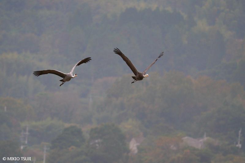 絶景探しの旅 - 絶景写真No.1521 親子で飛ぶナベヅル (鹿児島県 出水市)