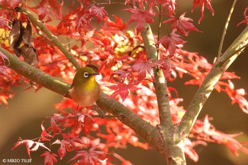絶景探しの旅 - 絶景写真 No.1532 冬の紅葉とメジロ (片倉城跡公園/東京都 八王子市)